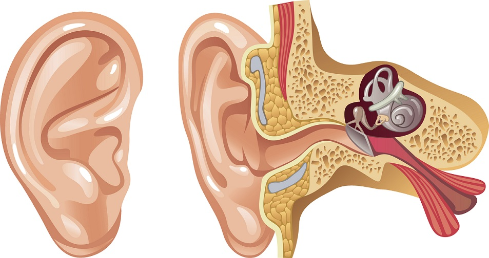 ear diagram